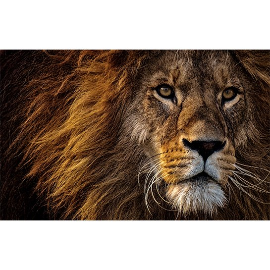 Lion Fotograaf Alexas