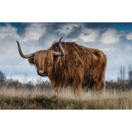 Schotse Hooglander In Het Gras Fotograaf Ron Van Den Berg