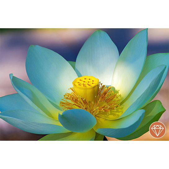 Lotus Bloem Fotograaf Nickype